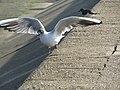 -2019-02-24 Black Headed Gull, (Chroicocephalus ridibundus), Walcott sea wall (2).JPG
