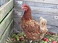 -2019-08-07 Chicken, Trimingham.JPG