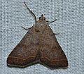 - 8370 – Bleptina caradrinalis – Bent-winged Owlet Moth (14055617487).jpg