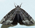 - 8784 – Catocala obscura – Obscure Underwing Moth (16035131696).jpg