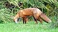 025 Red Fox (8057818109).jpg