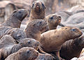 071203 steller sea lion pups rogue reef odfw (14953208189).jpg