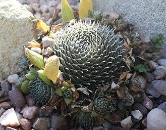 Orostachys - Orostachys spinosa