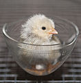 1 day old chick hatchling 2 cgi.jpg