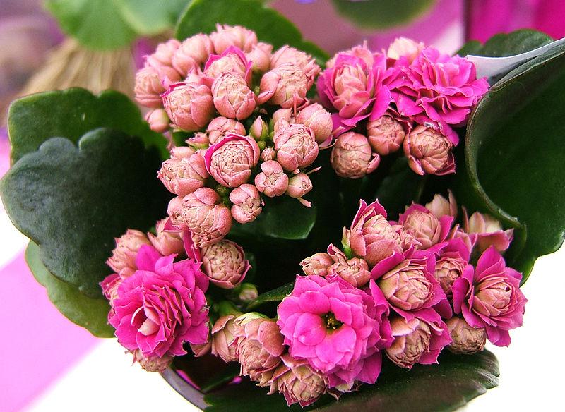 File:2007-03-20Kalanchoe blossfeldiana11.jpg