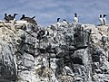 2009 07 02 - GuIllemots, shags and kittiwakes breeding on Farne Islands.JPG