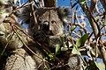2011-265-335 Koala Stare (6436267101).jpg