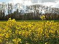 20120422Rapsfeld Altlussheim5.jpg