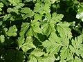 20120701Chaerophyllum temulum4.jpg