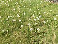 2015-05-01 15 11 56 Dandelion seed heads along South 9th Street in Elko, Nevada.jpg