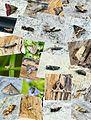 2015 - Moth Review by Ben Sale - Flickr - Bennyboymothman.jpg