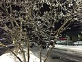 2016-02-16 02 03 28 Freezing rain on a Crape Myrtle's branches at night at the Franklin Farm Village Shopping Center in the Franklin Farm section of Oak Hill, Fairfax County, Virginia.jpg