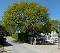 2016-05-05 ND 2.6 Stieleiche Bochum-Querenburg.jpg