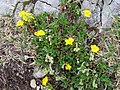 2017-06-25 (18) Helianthemum alpestre or Helianthemum oelandicum (hoary rockrose) at Schneeberg, Austria.jpg
