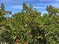 2017-09-04 12 28 17 Northern Bayberry along the sand road leading to Barnegat Inlet within the Southern Natural Area of Island Beach State Park, in Berkeley Township, Ocean County, New Jersey.jpg