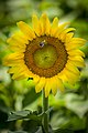 20170716-PJK-Sunflowers-0015TONED (35927268196).jpg