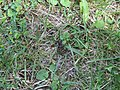 2018-05-13 (221) Acanthocinini, subspecies of Cerambycidae (Longhorn Beetle) at Bichlhäusl in Frankenfels, Austria.jpg