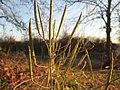 20181118Diplotaxis tenuifolia3.jpg