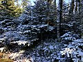2020-10-17 14 22 58 Balsam Firs covered in a light coating of snow along the Lookout Rock Trail on Equinox Mountain in Manchester, Bennington County, Vermont.jpg