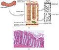 2421 Histology of the Large IntestineN.jpg