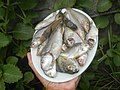 2492Fishes of the Philippines and Oysters 04.jpg