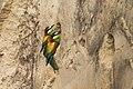 2 Merops apiaster 29.05. Germany.jpg