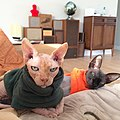 2 adult Sphynx cats in sweaters.jpg