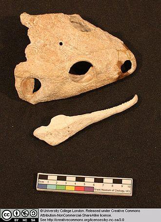 Dissorophus - Image: 3 Dissorophus multicinctus