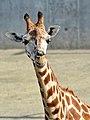 50 Jahre Knie's Kinderzoo Rapperswil - Giraffa camelopardalis 2012-10-03 14-37-29.JPG