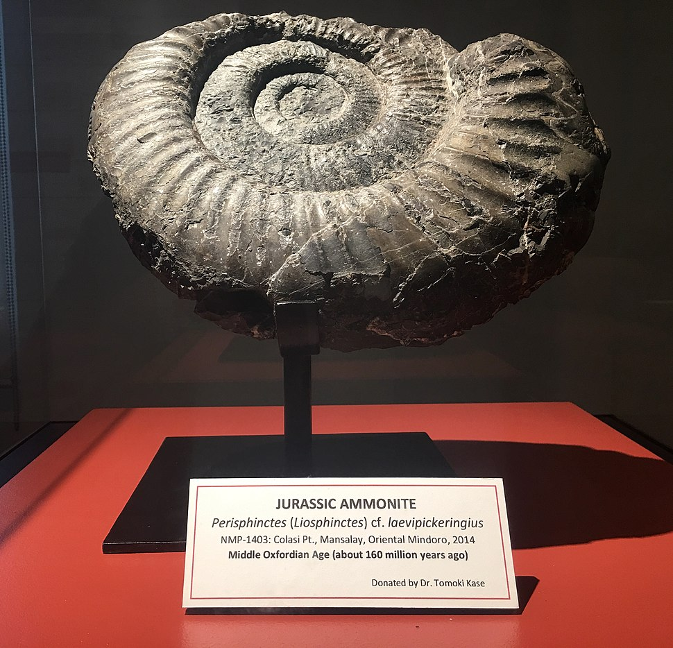 A 160 million years old Jurassic Ammonite fossil displayed at Philippine National Museum