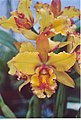 A and B Larsen orchids - Brassolaeliocattleya Melinda Wheeler Halcyon 962-12.jpg