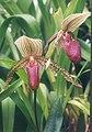 A and B Larsen orchids - Paphiopedilum superbiens sukhakulii rothschildianum 474-15.jpg