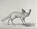A bat-eared fennec. Engraving by E Finden, ca 1826, after Ma Wellcome V0021550.jpg