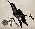 A bird with a long and pointed beak is sitting on the stem o Wellcome V0021251.jpg