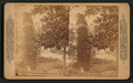 A cactus growth in Southern California, from Robert N. Dennis collection of stereoscopic views.png