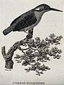 A common kingfisher sitting on a branch of a tree. Etching b Wellcome V0021207EL.jpg