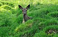 A doe sitting in the grass.jpg