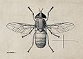 A horse fly (Tabanus par). Pen and ink drawing by A.J.E. Ter Wellcome V0022594.jpg