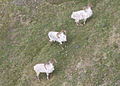 A ram group seen from the air in Gates of the Arctic National Park and Preserve (9184029417).jpg