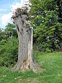 A rotting tree - geograph.org.uk - 1438726.jpg