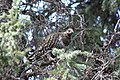 A spruce grouse in a spruce tree (db884d9b-48ff-454a-aa9f-6aecfb71ab06).jpg