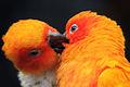 A sun (parakeet) kiss.jpg