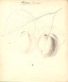 Abrikos - Ambrosia (9247295546).jpg