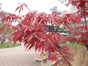 Aceraceae - Image: Acer Palmatum