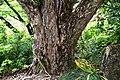 Acer buergerianum in Eastwoodhill Arboretum (1).jpg