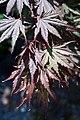 Acer palmatum Kinran 0zz.jpg