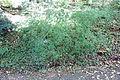 Acer pentaphyllum - Quarryhill Botanical Garden - DSC03222.JPG