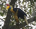 Aceros cassidix -North Sulawesi-4.jpg