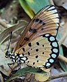 Acraea terpsicore - Tawny coster 03.JPG