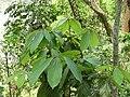Actinodaphne obovata, north Bengal, AJT Johnsingh..JPG
